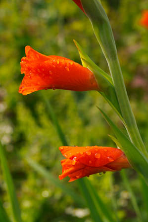 Couple red gladiolus bud in the garden