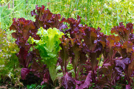 Bed of green and purple lettuce in the garden Stock Photo