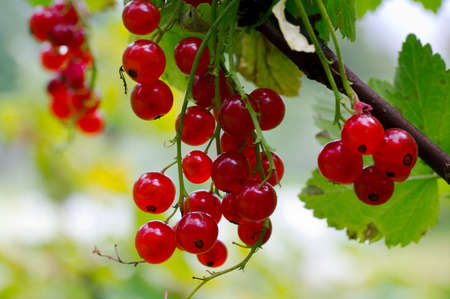 Red currant berries on a branch.