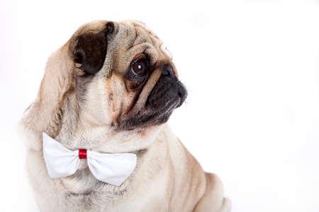 british bulldog: cute english bulldog isolated on white background