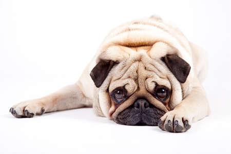 animal sad face: cute english bulldog isolated on white background