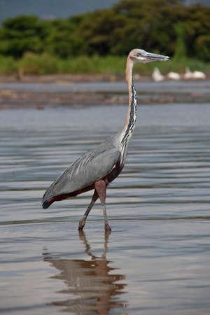 herodias: Grey Headed Heron (Ardea herodias) standing in lake against water