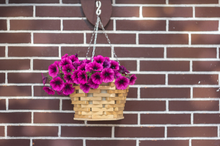weighs: The basket of a violet petunia which hangs down down weighs opposite to a brick wall.