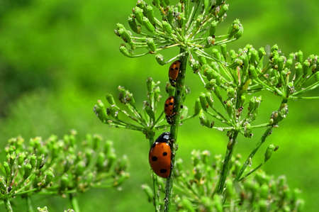 Ladybugs family on a grass. Stock Photo