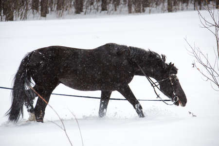 The horse walking on a lunge