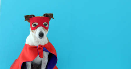 Dog super hero costume. little jack russell wearing a red mask for carnival party isolated blue background Banque d'images