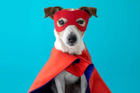 Déguisement de super héros pour chien. petit jack russell portant un masque rouge pour la fête de carnaval fond bleu isolé