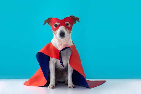 Déguisement de super héros pour chien. petit jack russell portant un masque rouge pour la fête de carnaval fond bleu isolé Banque d'images