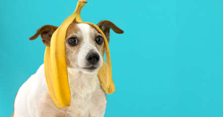 Funny Jack Russell Terrier dog with banana peel on its head looking at camera on a blue background