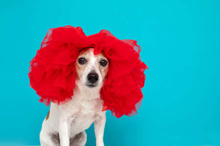 Little domestic dog in red wig sitting and looking at camera on blue background