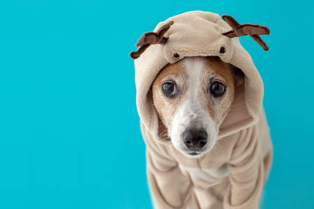 Close up portrait of funny beautiful dog wearing christmas deer costume, looking on camera, isolated on winter blue background Фото со стока