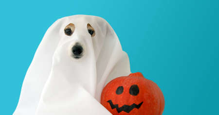 Curious dog in thrown white sheet with slots for eyes and orange pumpkin next