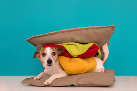 Cute jack russell terrier lies between two pillows with a blanket imitating a hamburger and wags its tail against a blue background