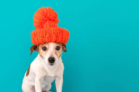 Dog wearing red sunglasses, knitted hat sitting and looking at camera isolated on blue background