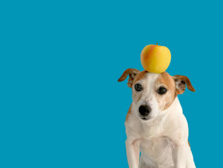 Lovely little dog with yellow apple on head standing on bright blue background Stockfoto