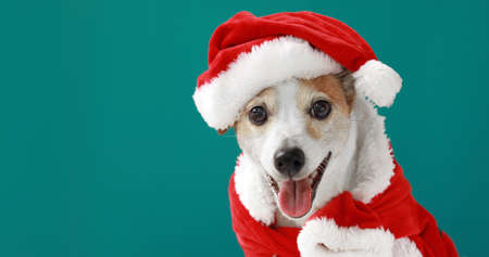 Christmas dog jack russell terrier smiling in santa costume on blue background