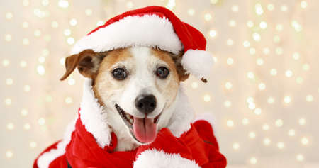 Christmas dog jack russell terrier smiling in santa costume on background with lights from garland Banque d'images