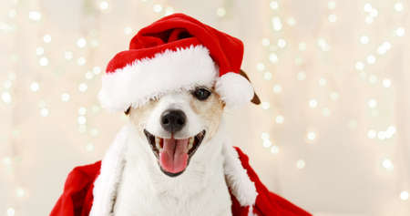 Adorable dog in Santa hat and costume sitting in room decorated with illuminated garlands for Christmas and looking at camera Banque d'images