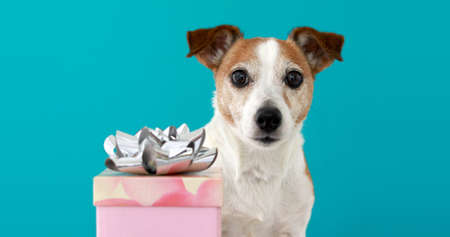 Funny jack russell terrier puppy with brown and white fur trembles standing near birthday pack on turquoise background closeup