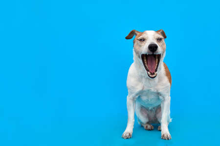 Adorable Jack Russell Terrier dog yawning sweetly with closed eyes on bright blue background in studio Stockfoto