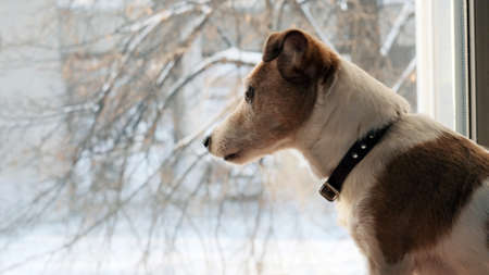 Dog jack srassell terrier looks out the window at falling snow in winter in the city