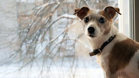 Dog jack srassell terrier looks back sitting window snow in winter i Stockfoto