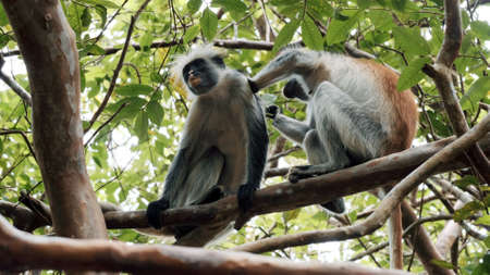 Funny wild monkey looks for fleas in friend hair sitting on branch of tropical tree in forest on sunny day low angle shot Stockfoto