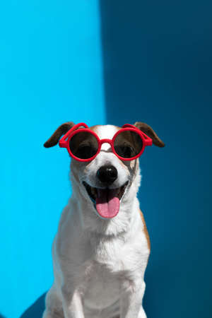 Jack Russell terrier in round red sunglasses looks at camera on blue Stockfoto