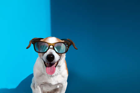 Jack Russell terrier in sunglasses looks at camera on blue Stockfoto