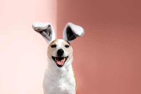 Jack Russell terrier with bunny ears looks at camera on pink