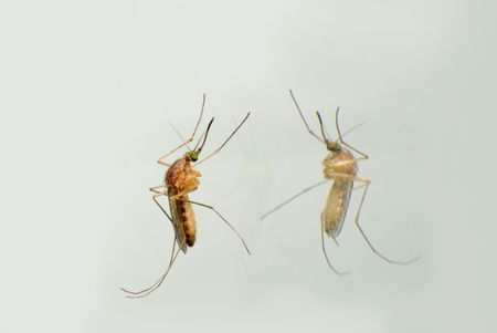 exitus: mosquito and his reflection on mirror isolated Stock Photo