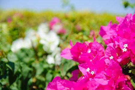 magenta flowers: green bush with beautiful magenta flowers
