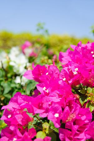 green bush with beautiful magenta flowers photo