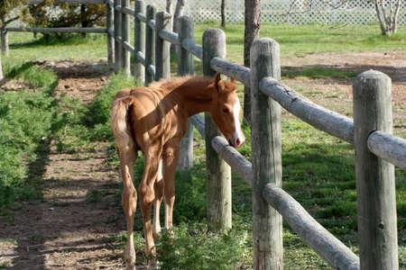 fenceline: a newborn colt near the fenceline