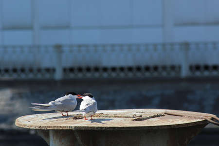 neva: two seagulls on the Neva river