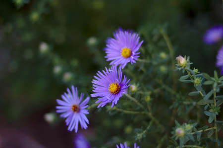 a close up of 3 purple flowers with a green background