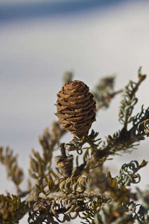 Photo the cone of a fir photo