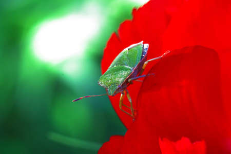 wingless: Green bug on a red flower Stock Photo