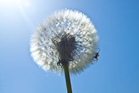 photo of a spider sitting on a dandelion in a sunny day photo