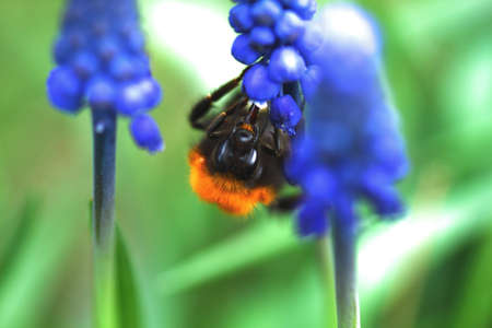Photo of a bumblebee collecting nectar from flowers photo