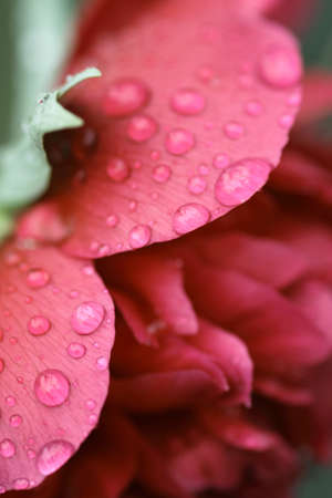 drops of a rain on peony petals photo
