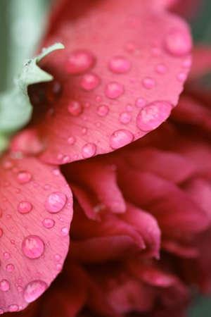 drops of a rain on peony petals photo