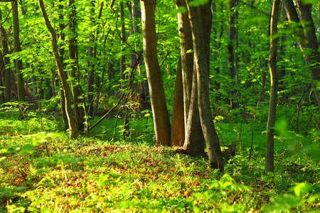 morning wood photo