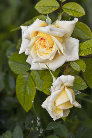 single rose: photo of a yellow rose in a garden in the afternoon