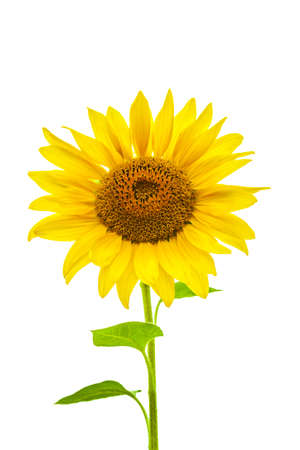 Photo of a young sunflower on a white background