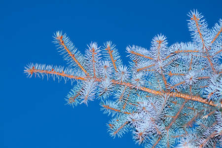 Photo of a branch of a blue spruce