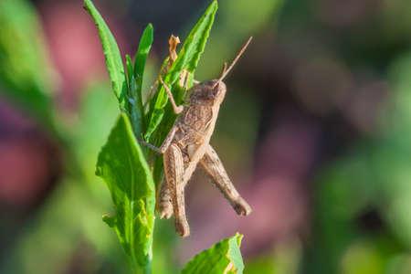 Grasshopper photo on a grass