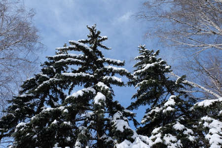 Christmas trees and birches