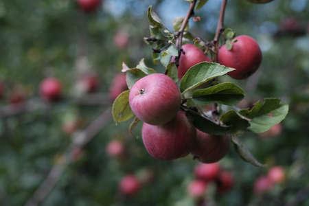 Red Apple on a branch Reklamní fotografie