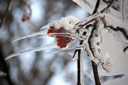 mountain ash: Frozen branch of mountain ash